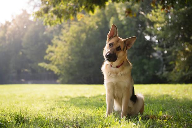 Why Do Dogs Tilt Their Heads? Do You Love German Shepherd Head Tilts?