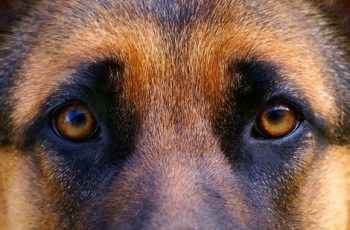 How to get the best one? The Different Types of German Shepherds