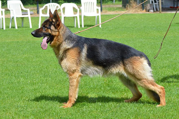 The-Different-Types-of-German-Shepherds-West-German-Show-Line