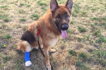 Desperate German Shepherd Chews Off His Paw In An Attempt To Escape His Owner