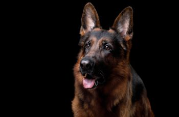 German Shepherd Dog on a black background in the studio