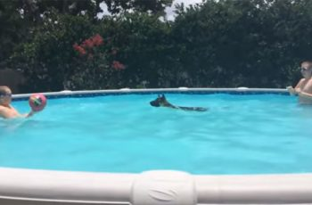 German Shepherd Plays Monkey In The Middle With Her Owners In The Pool!