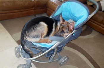 German Shepherd Puppy Thinks She's A Human Baby!