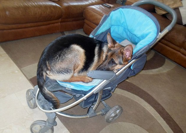 German-Shepherd-Puppy-Thinks-Shes-A-Human-Baby-5