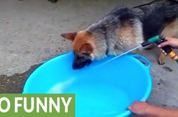 Silly German Shepherd Dog Tries To Catch Water Spurting From The Hose!