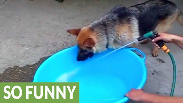 Silly-German-Shepherd-Dog-Tries-To-Catch-Water-Spurting-From-The-Hose