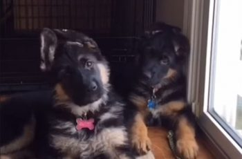 These German Shepherd Puppies Tilting Their Heads Will Make Your Day!