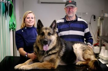 UK Vets Remove Six Golf Balls Lodged In German Shepherd Dog's Stomach For Months!