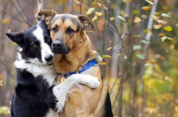Vines Of Sweet Border Collie Hugging German Shepherd Go Viral! See The Sweet Dogs' Videos!
